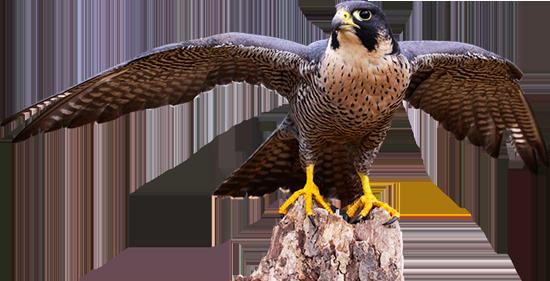 Faucon tests jeux ducatifs en ligne - Dessin de faucon ...