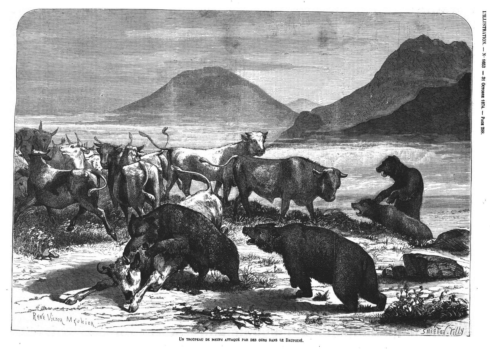 Un troupeau de bœufs attaqué par des ours dans le Dauphiné. Gravure 1874