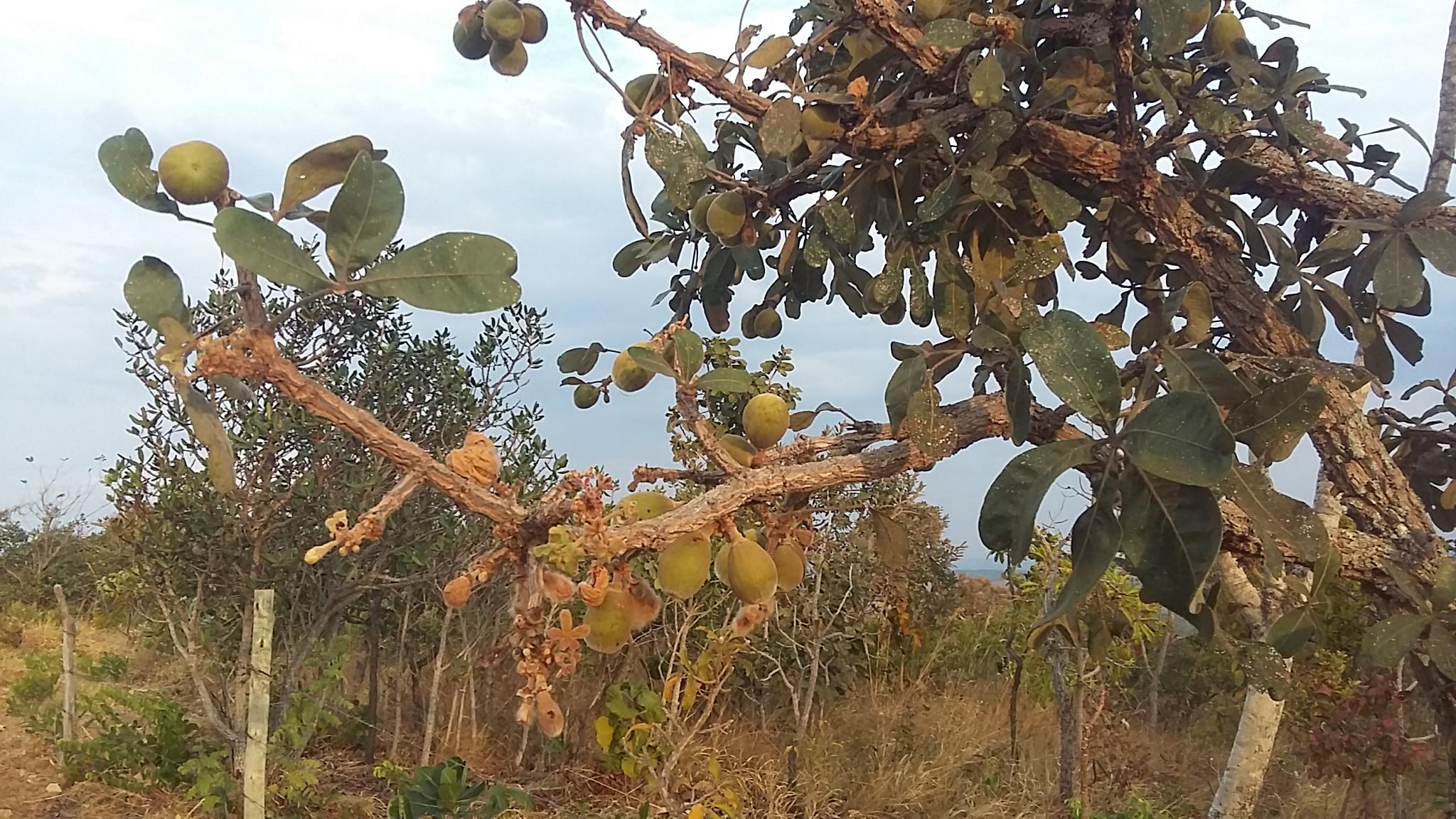 fruit amérique du sud