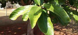 Jambosier rouge, Syzygium malaccense (photos prisent en aout à Brasilia, Brésil)