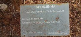 Esponjinha, Vachellia farnesiana. (photos prisent en aout à Brasilia, Brésil)