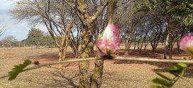 Calliandra-Mimosa : Calliandra brevipes. (photos prisent en aout à Brasilia, Brésil)