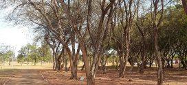 Sabiá, Mimosa caesalpiniifolia (photos prisent en aout à Brasilia, Brésil)