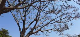 Guapuruvu, Schizolobium parahyba. Arbres et graines. Photos prisent au Brésil état de Goias