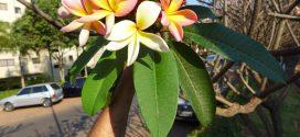 Le frangipanier. Plumeria alba (photos prisent en aout à Brasilia, Brésil)