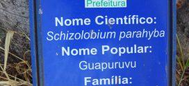 Guapuruvu, Schizolobium parahyba. Photos prisent au Brésil état de Goias