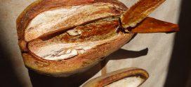 Swietenia macrophylla, aguano ou mogno-brasileiro