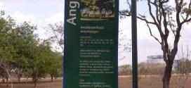 Angico anadenanthera macrocarpa (photos prisent en aout à Brasilia, Brésil)