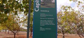 Capitão do Campo – Callisthene fasciculata (photos prisent en aout à Brasilia, Brésil)