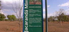 Jacarandá-mimoso – Jacaranda mimosaefolia (photos prisent en aout à Brasilia, Brésil)