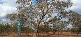 Sucupira Branca, Pterodon emarginatus. (photos prisent en aout à Brasilia, Brésil)