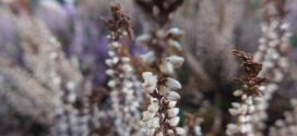 Calluna vulgaris Callune