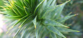 Araucaria, Araucaria du Chili, Désespoir du singe. Type(s) de plante Conifère ou résineux