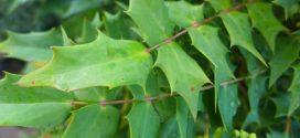 Le Mahonia faux houx ou Mahonia à feuilles de houx