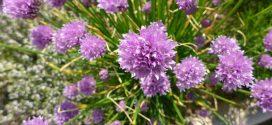Ciboulette. Allium schoenoprasum
