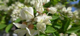 Robinier , Faux-acacia, Robinia pseudoacacia