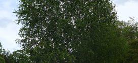 Bouleau, Betula, arbre d'ornement