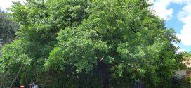 Chêne. Quercus. Arbres et arbustes