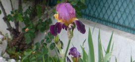 Iris, plante à fleur